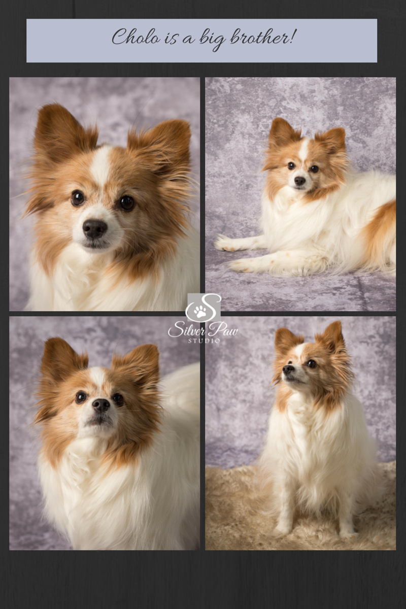 Papillon, dog photographer, Fort Collins, CO