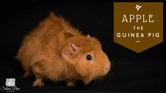 Guinea pet photographer, Fort Collins, Colorado